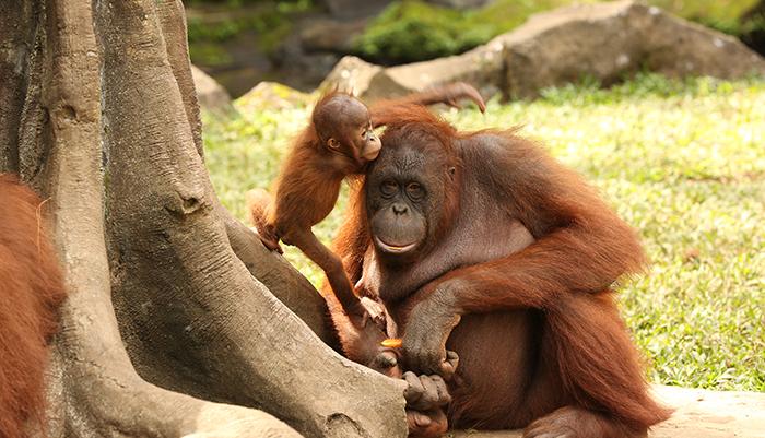 Orang Utan - Taman Safari Bogor